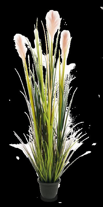 Pampasgras mit Blüten 180 cm