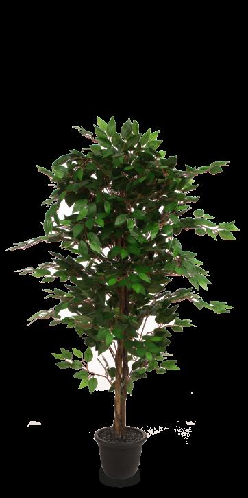 Ficus 150 cm
